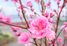 Image of plum flower with blue sky background. Royalty Free Stock Photos