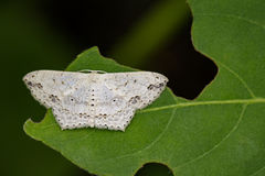 Image of Pointed Flatwing Butterfly& x28;Moth& x29; Stock Photo