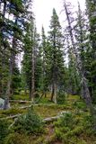 High Rocky Mountain Ponderosa Pine Forest Stock Photography