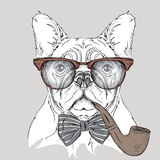 Image Portrait bulldog in the cravat and glasses with  tobacco pipe. Vector illustration. Stock Photo