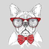 Image Portrait bulldog in the cravat and with glasses. Vector illustration. Stock Images