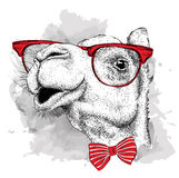 Image Portrait camel in the cravat and with glasses. Vector illustration. Royalty Free Stock Images