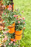 Potted roses Stock Photo