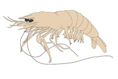 Image of prawn animal Stock Photography