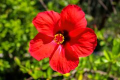 A Beautiful Red Hibiscus Flower in The Sunlight stock photo