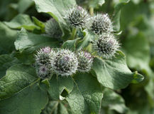 The image of prickles of a burdock Stock Photo
