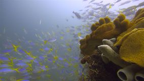 Underwater marine life. The Coral reef in Raja Ampat, west Papua. Image of the pristine marine life in the gold triangle in Raja Ampat, west Papua, Indonesia. A stock photos