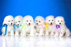 Image of puppies Samoyed breed Royalty Free Stock Photography