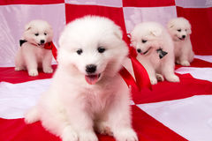 Image of puppies Samoyed breed Stock Photography