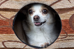 Image of puppy chihuahua in the kennel Royalty Free Stock Images