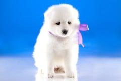Image of puppy Samoyed breed Stock Image