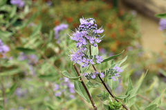 Image of purple Caryopteris incana flowers Royalty Free Stock Photos