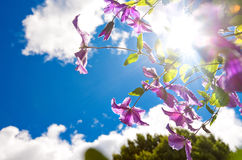 Image of purple clemetis against blue sky and sun. Stock Photo