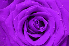 Image of purple rose Royalty Free Stock Photography