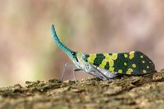 Image of Pyrops viridirostris lantern bug or lanternfly. Royalty Free Stock Images
