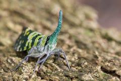 Image of Pyrops viridirostris lantern bug or lanternfly. Stock Photography