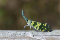 Image of Pyrops viridirostris lantern bug or lanternfly. Royalty Free Stock Image
