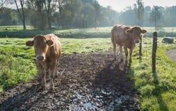 Image rétro-éclairée de jeunes vaches se tenant dans la boue Photo libre de droits