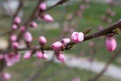Image rêveuse d'une fleur rose sensible de pêcher au printemps Le ressort fleurit la série, floraison de pêche photos stock