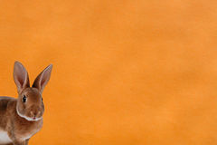 Image of a rabbit on orange background. A rabbit is looking from the left side in the picture, orange background Stock Images