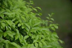Rain drops on leaf shrub Royalty Free Stock Photo