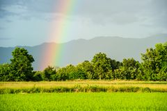 Rainbows at the middle of rice fields in Thailand. Royalty Free Stock Image