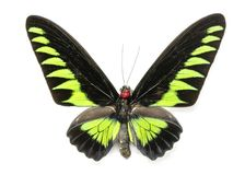 Image of Rajah Brookiana Butterfly Trogonoptera brookiana. Stock Images
