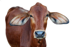 Image of red cow isolated Royalty Free Stock Photos