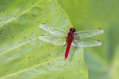 Image of red dragonfly perched on leaves. Royalty Free Stock Photos