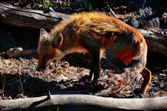 A Red Fox runs across the forest in Whitehorse, Yukon. A image of a Red Fox running across the forest in Whitehorse, Yukon stock image