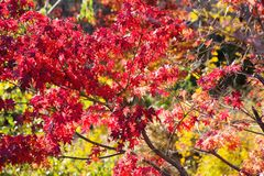 Image of red Japanese maple leaves Royalty Free Stock Image