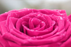 Image of red rose Royalty Free Stock Images