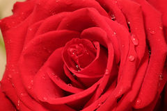 Image of red rose Royalty Free Stock Image