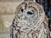 Curious Barred Owl. Image of a rescued Barred Ow named Oberim. Taken near Pueblo Colorado, late summer.The barred owl Strix varia, also known as northern barred Stock Photos