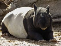 Resting Malayan Tapir. Image of a resting Malayan Tapir, taken near Denver Colorado. The Malayan tapir Tapirus indicus, also called the Asian tapir, is the stock images