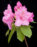 Image of Rhododendron flower on black. Royalty Free Stock Photo
