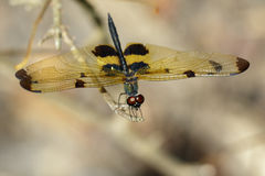 Image of a rhyothemis phyllis dragonflies on a tree branch. Insect Animal Stock Photography
