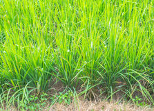 image of rice field Royalty Free Stock Photo