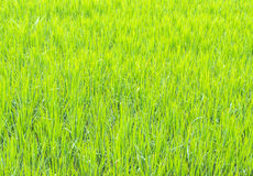 image of rice field Stock Image