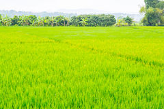 image of rice field and sky Stock Images