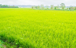 image of rice field and sky Royalty Free Stock Image