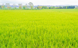 image of rice field and sky Stock Photos