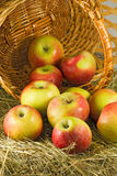 Image of ripe apples in inverted basket closeup Royalty Free Stock Photography