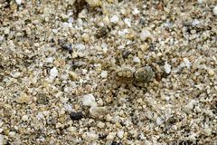 Image of River Huntress Spiders Venatrix arenaris on the sand. Insect. Animal Royalty Free Stock Photo