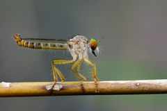 Image of an robber fly& x28;Asilidae& x29; on a branch. Stock Image