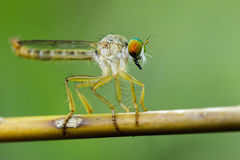 Image of an robber fly& x28;Asilidae& x29; on a branch. Stock Images
