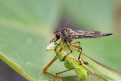 Image of an robber fly& x28;Asilidae& x29; eating grasshopper. Image of an robber fly& x28;Asilidae& x29; eating grasshopper on green leaves. Reptile Animal Stock Photography