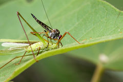 Image of an robber fly& x28;Asilidae& x29; eating grasshopper. Image of an robber fly& x28;Asilidae& x29; eating grasshopper on green leaves. Reptile Animal Royalty Free Stock Photos