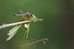 Image of an robber fly& x28;Asilidae& x29; eating grasshopper. Stock Images