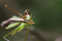 Image of an robber fly& x28;Asilidae& x29; eating grasshopper. Image of an robber fly& x28;Asilidae& x29; eating grasshopper on nature background. Insect Animal Royalty Free Stock Photos